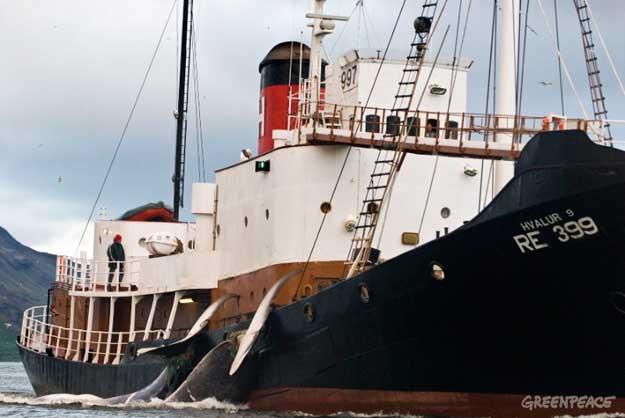 ballenero de Islandia Hvalur 9