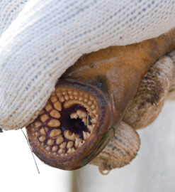 boca de una lamprea marina (Petromyzon marinus)