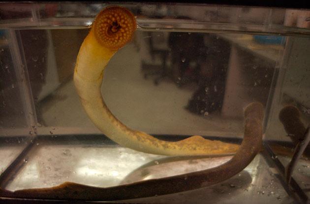 pareja de lampreas marinas