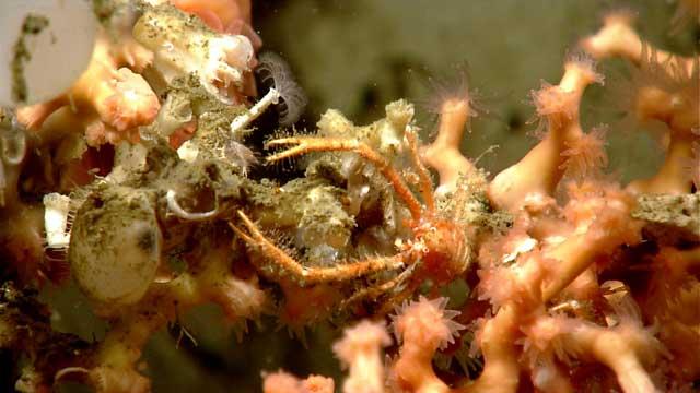 langostino entre un coral pétreo