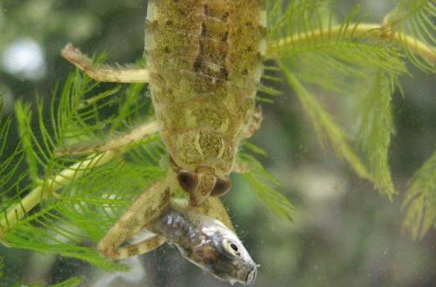 Lethocerus patruelis comiendo un pez