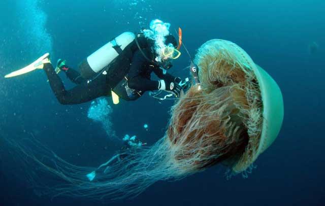 buzo coloca un marcador a una medusa Echizen