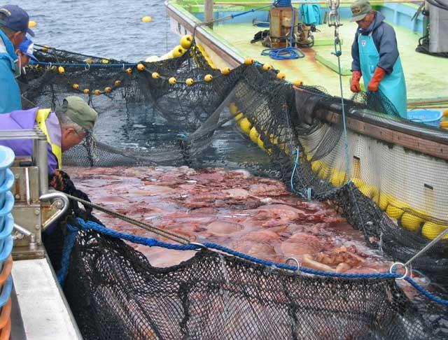 medusas giganres en una red de pesca japonesa
