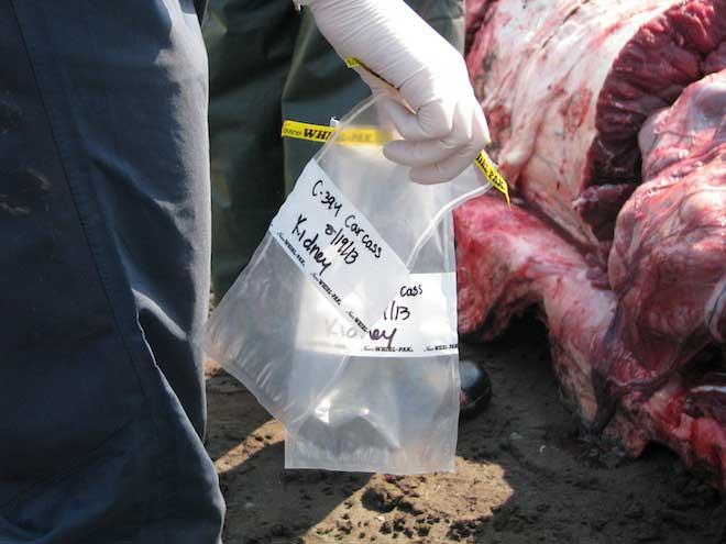 necropsia de rorcual común, recogiendo trozos de riñón