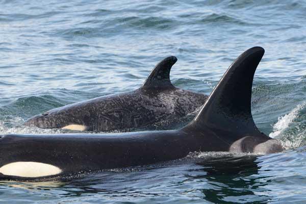 La orca Springer nada con su bebé Bella Bella