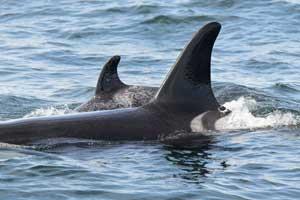 la orca Springer nada con su bebé en la Columbia Británica