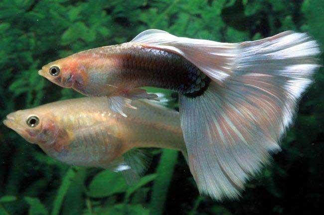 pareja de pez guppy (Poecilia reticulata)