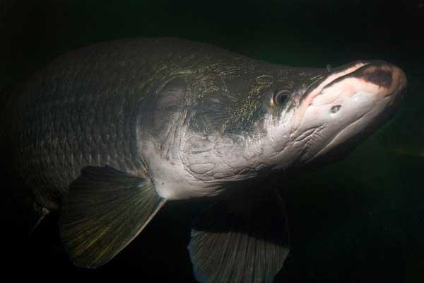 pez arapaima