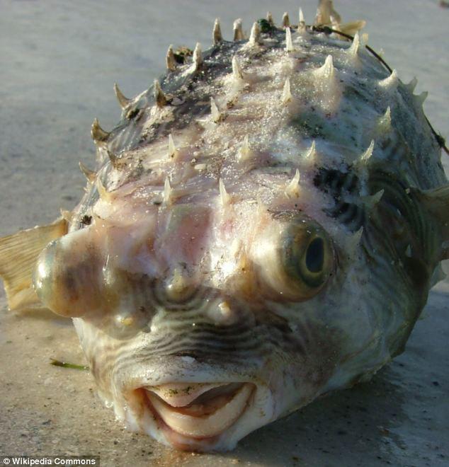 pico del pez globo