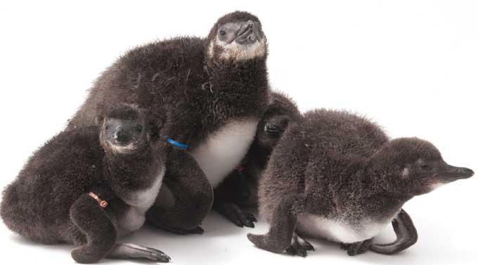pingüinos nacidos por inseminación artificial