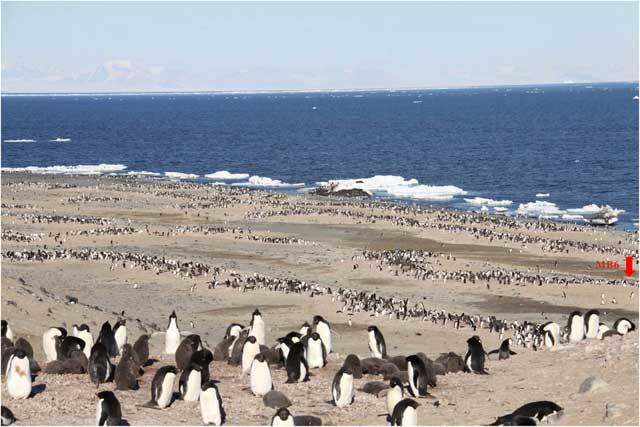 pingüinos Adelia en el Mar de Ross