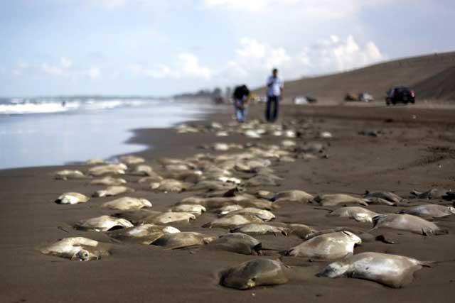 rayas varadas en una playa mexicana
