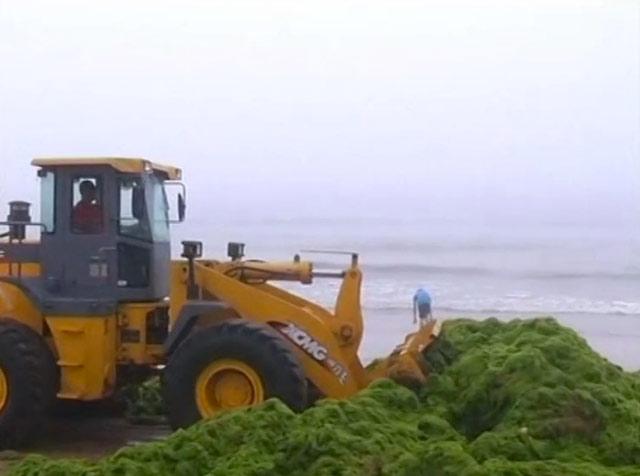 recogidade alga verde, playa de Qingdao, China