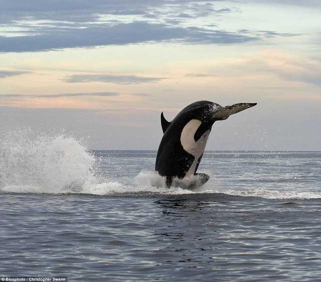 salto de una orca para atrapar un delfín