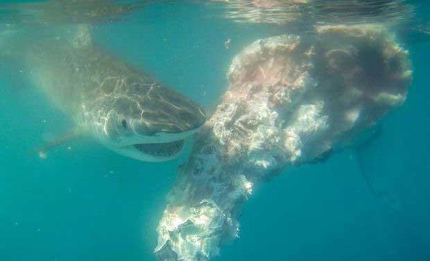 tiburón se alimenta del cadáver de una ballena