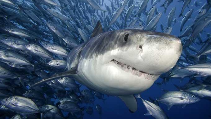 tiburón nada entre un banco de peces