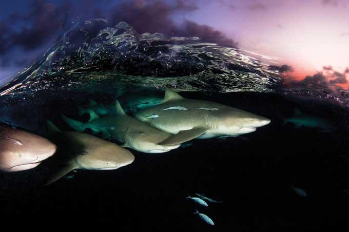 tiburones limón cazando en grupo