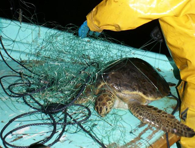 tortuga enredada en una red de enmalle