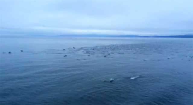 manada de 1.000 delfines en Canadá