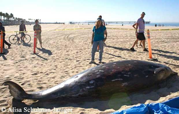 ballena dientes de sable (Mesoplodon stejnegeri) varada playa California