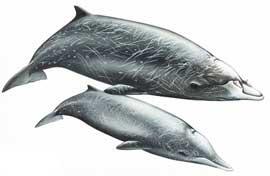 ballena dientes de sable (Mesoplodon stejnegeri), macho y hembra
