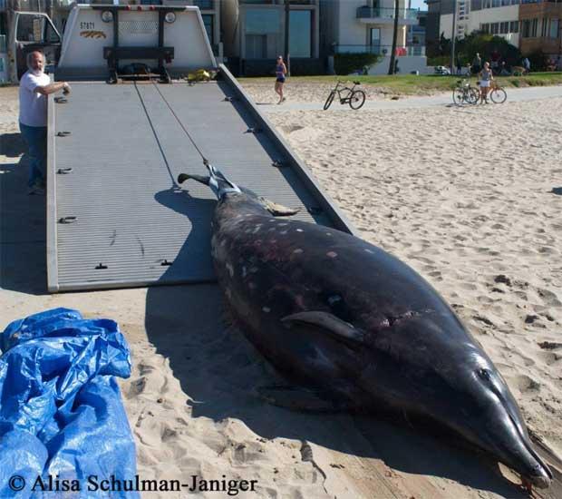 transporte de la ballena dientes de sable (Mesoplodon stejnegeri)