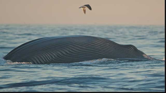 ballena en un frenesí de alimentación
