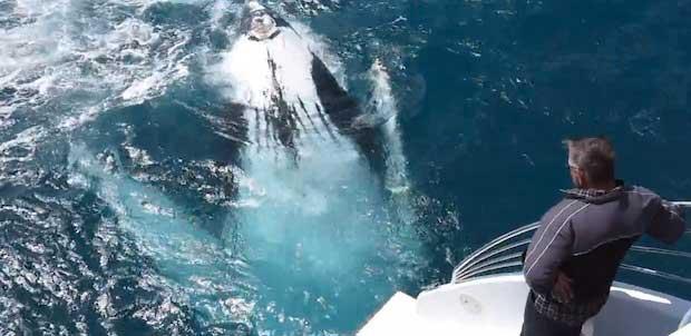 ballena hace el 'muerto'