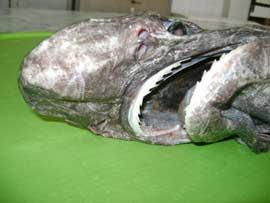 cabeza de tiburón zarza (Echinorhinus brucus)