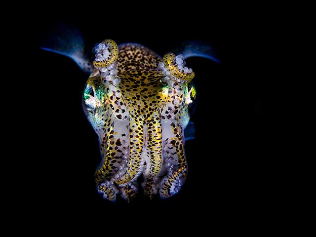 calamar de Bobtail