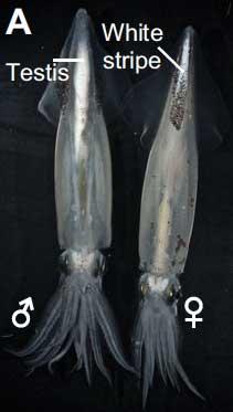 calamar hembra y macho