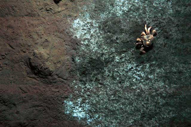 cangrejo (Paralomis diomedeae) comiendo bacterias