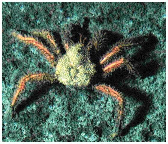 cangrejos litódidos (Paralomis diomedeae)