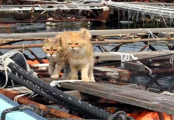 Chii y Dorami, dos gatos en una granja de pescado en Japón