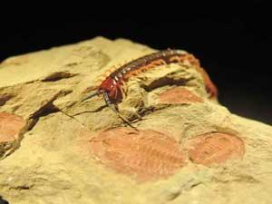 Cormocephalus