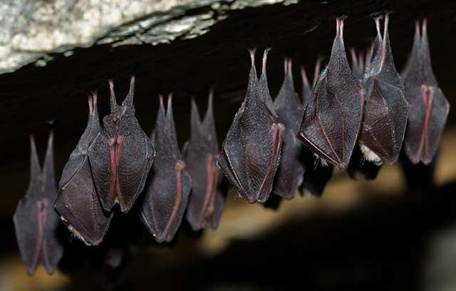 ecolocalización en los murciélagos