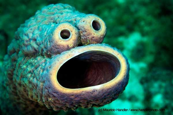 esponjas de mar púrpura (Alpysina archeri)