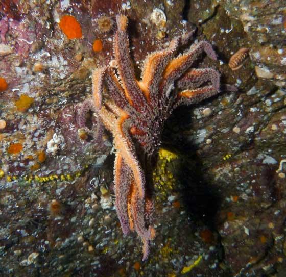 estrella de mar girasol (Pycnopodia helianthoides) descompuesta