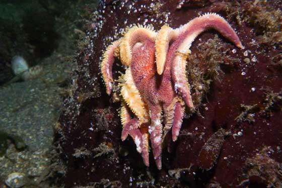 estrella de mar sol de la mañana (Solaster dawsoni) muerta aferrada a una roca