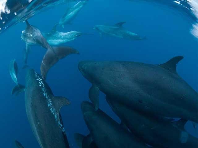 Falsas orcas y delfines mulares forman en Nueva Zelanda asociaciones a largo plazo