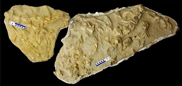 fósil mosasaurio tiene en el estómago tres mosasaurios