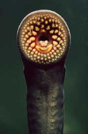 lamprea de mar (Petromyzon marinus), boca