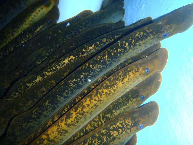 lampreas de mar (Petromyzon marinus)