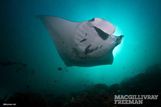 manta raya, IMAX Viaje al Pacífico Sur