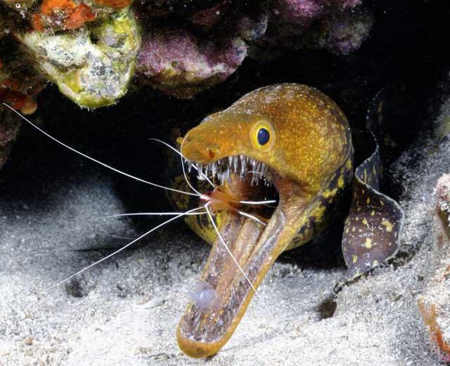 morena picopato con un camarón limpiador en la boca