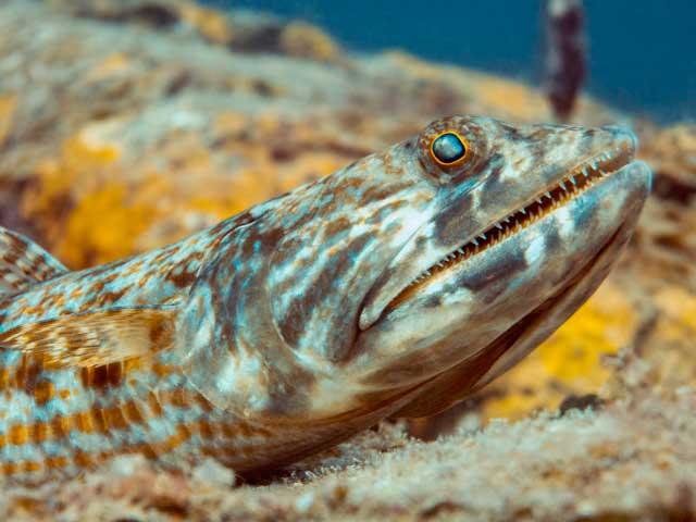 pez lagarto de arrecife (Synodus variegatus)