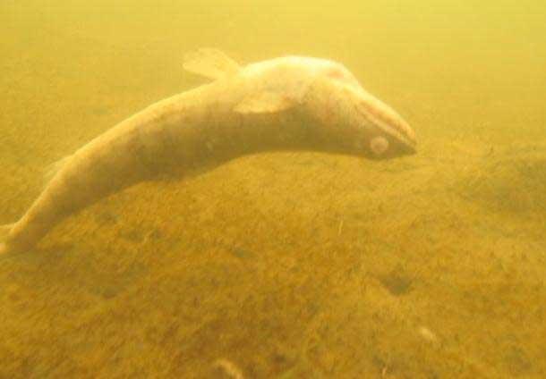 pez muerto en aguas de Honolulu