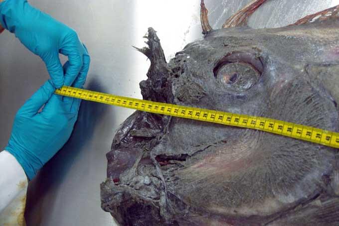 pez remo California, medida de la cabezza en la disección