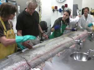 disección del pez remo varado en Oceanside, California