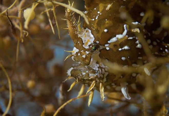 pez de los sargazos (Histrio histrio)